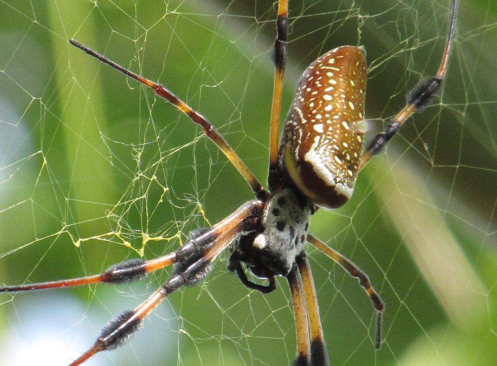 [Golden+Silk+Spider+%2813%29%5B7%5D]