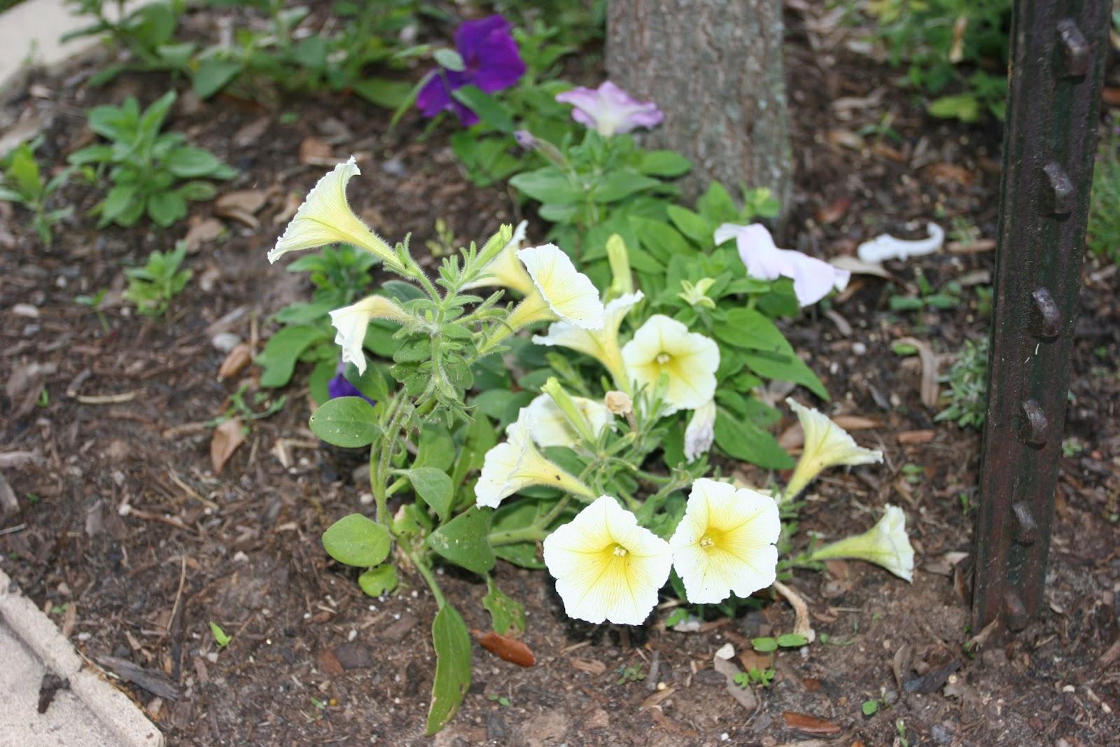 Gardening 2012 - IMG_2748.JPG