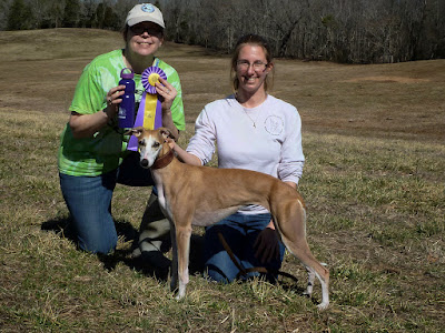 Elsa - BOB and a 5pt Major her first AKC lure coursing trial!