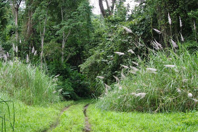 Lieu de passage de nombreux Morpho helenor peleides. Paraíso (Canal Zone, Panamá), 1er novembre 2014. Photo : J.-M. Gayman