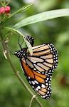 Monark lægger æg.jpg