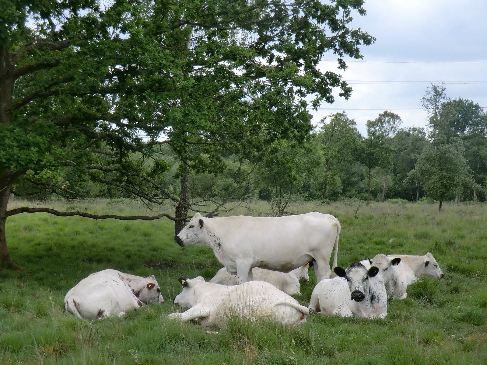 CIMG8682 British White Cattle on Hook Common