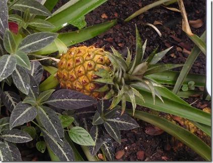 3 pineapple