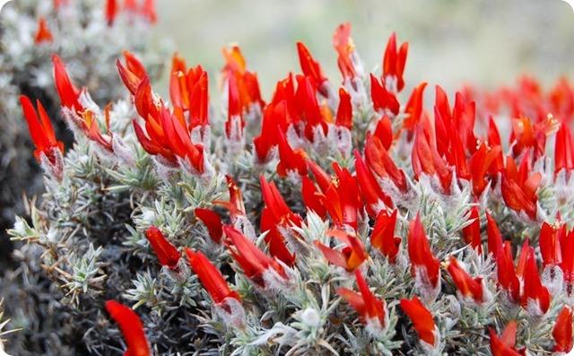 Mata-de-fuego-Anarthrophyllum-desideratum