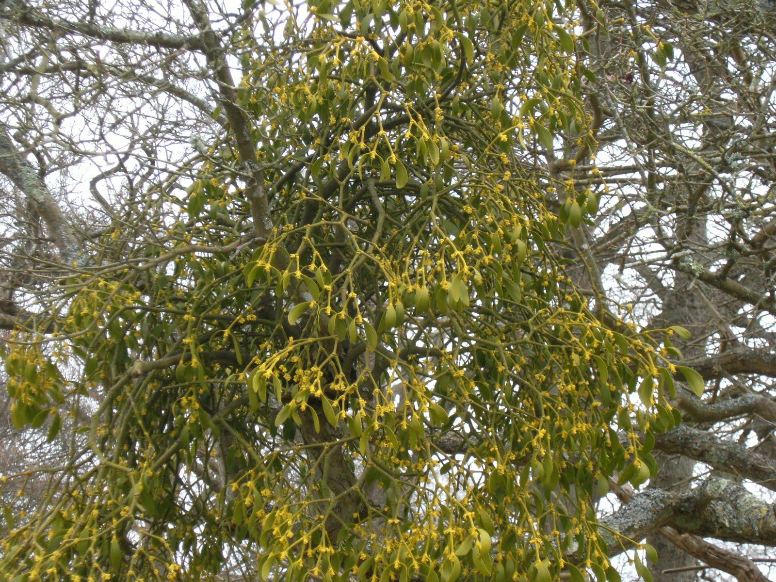 1004050031 Mistletoe, Parham Park