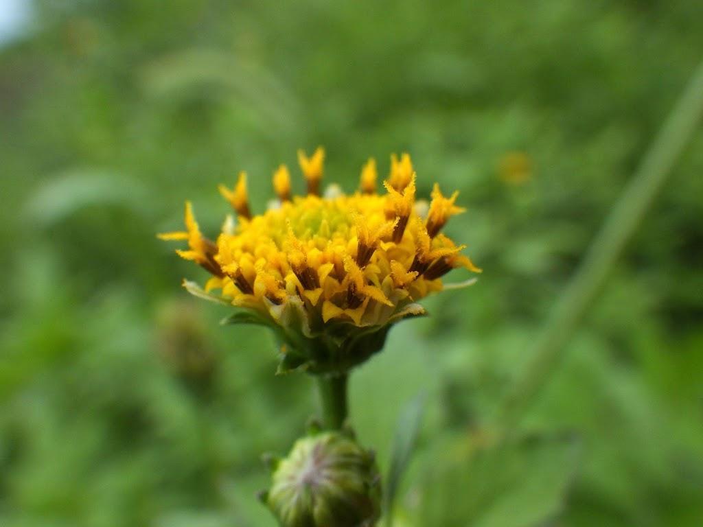 コセンダングサの花2