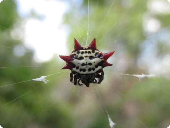 Pioneer Trail - Spiny Backed Orb Weaver Spider