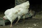 JE FAIS VITE !Quand les poules sont là, mieux vaut être rapide pour chiper le grain ! Parce qu'elles font peur ces bestioles !
