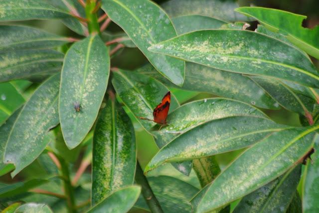Lasiophila phalaesia alce PYRCZ, 1999. La Merced de Buenos Aires, 2250 m (Imbabura, Équateur), 24 novembre 2013. Photo : J.-M. Gayman