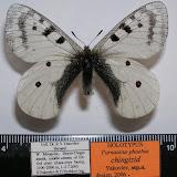 Parnassius phoebus chingizid spp. nova YAKOVLEV, 2006, holotype, mâle, de Mongolie occidentale. Photo : Roman Yakovlev. Dans l'Altaï, volent les ssp. P. p. phoebus FABRICIUS, 1793 et P. p. alpestris ROTHSCHILD, 1918.