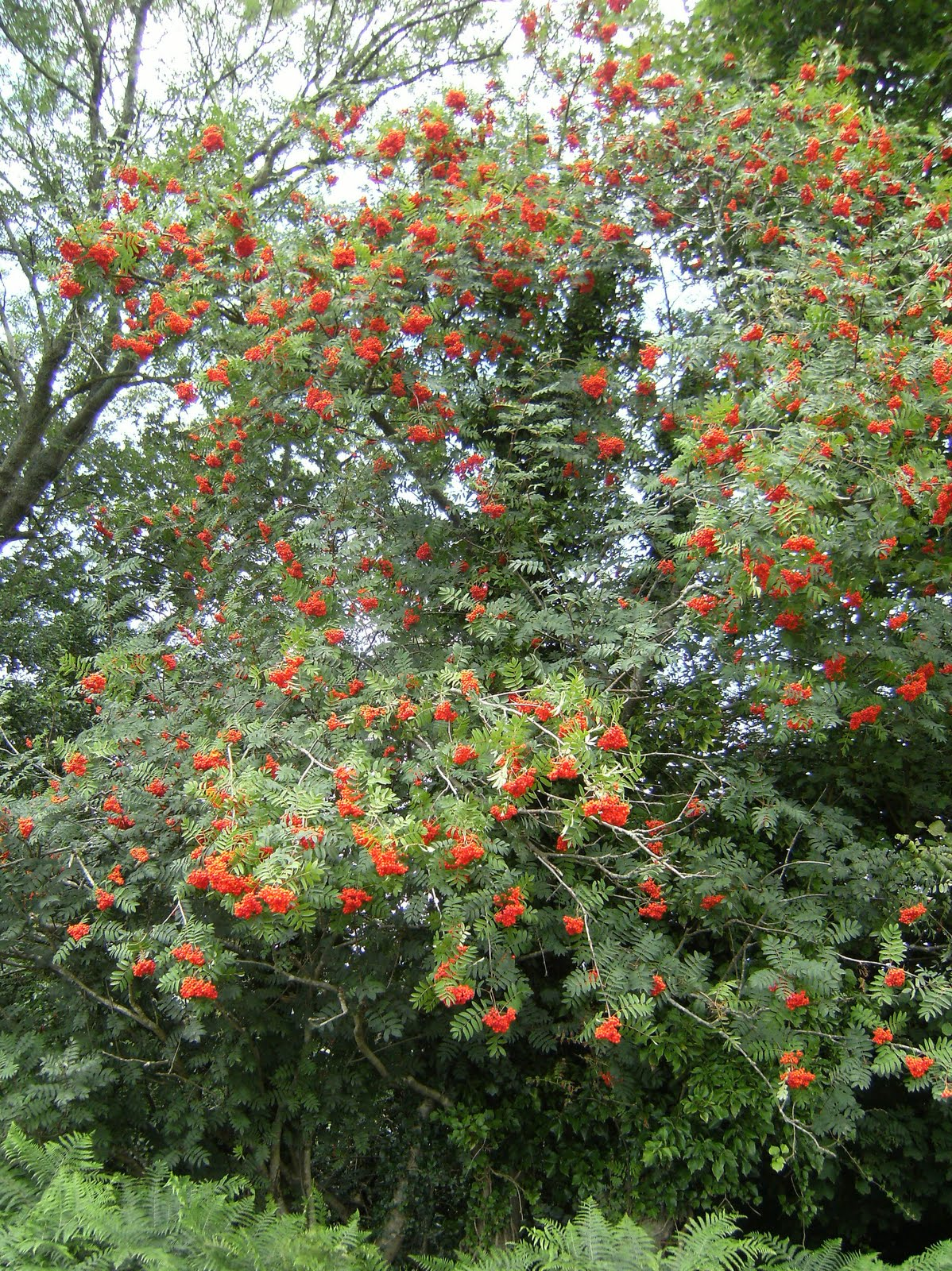 DSCF8809 Rowan tree, near Quell Farm