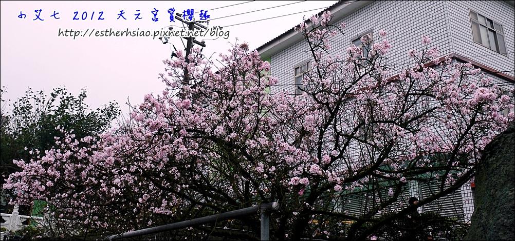 2 吉野櫻