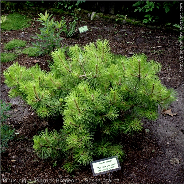 Pinus nigra 'Pierrick Bregeon' - Sosna czarna pokrój