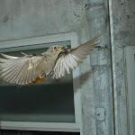 Colirrojo en vuelo hacia el nido.jpg