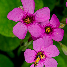 Violet wood sorrel by David Winchester - Flowers Flowers in the Wild