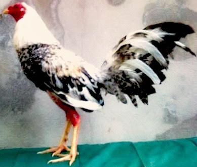 gallos-padres-ya-probados_MLV-O-3721680639_012013.jpg
