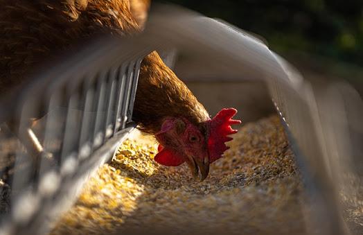 Cara Fermentasi Ampas Tahu Awet 2 bulan untuk Pakan Ayam & Unggas lain | Part 1
