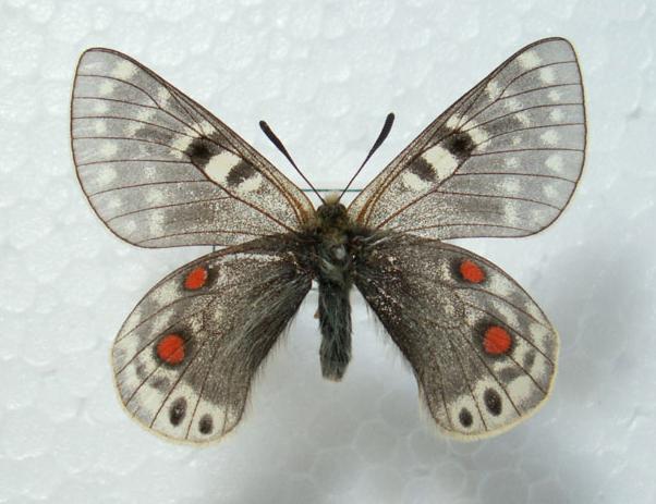 Parnassius (Koramius) acdestis GRUM-GRSHIMAILO, 1891. ssp. marki EPSTEIN, 1979 (?). Tibet, Nepal. Photo : Babochkalov