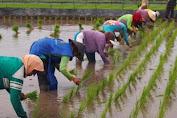 Buntu Gegara Doubel, Ribuan BST Pertanian Belum Terserap Semua di Karawang !