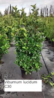 viburnum lucidum C40