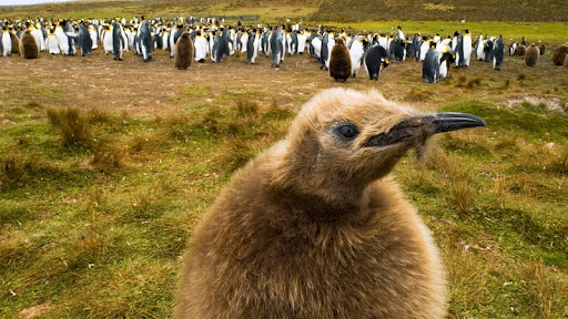 King Penguin Chick, Falkland Islands.jpg