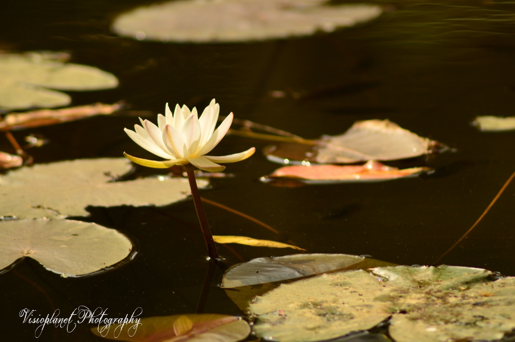 The Lotus by Sudipto Sarkar on Visioplanet