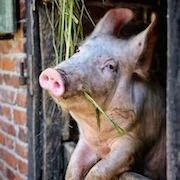 К чему снится свинья?