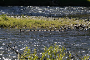 Female Common Merganser and 22 chicks!