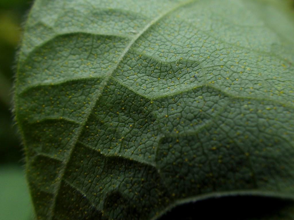 葉の裏の様子