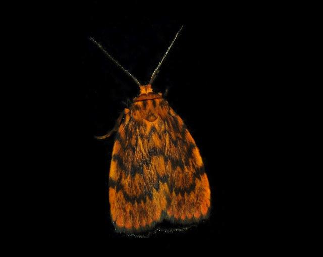 Arctiidae : Lithosiinae : Lyclene pyraula MEYRICK, 1886. Umina Beach (N. S. W., Australie), 11 janvier 2012. Photo : Barbara Kedzierski