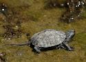 kaspische beekschildpad.jpg