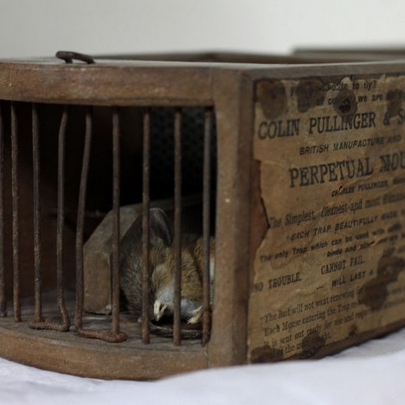 155-Year-Old Mouse Trap in a Museum Claims Another Victim