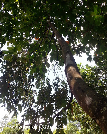 Shorea acuminata, Light Red Meranti, Red Lauan