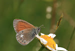 Coenonympha glycerion, iphioides2.jpg