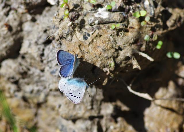 Glaucopsyche alexis (PODA, 1761). Ravin des Fouix (426 m), les Hautes-Courennes, Saint-Martin-de-Castillon (Vaucluse), 9 mai 2014. Photo : J.-M. Gayman