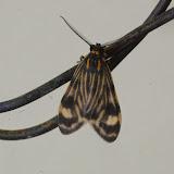 Eucereon phaeoproctum Hampson, 1898. Mount Totumas, 1900 m (Chiriquí, Panamá), 21 octobre 2014. Photo : J.-M. Gayman