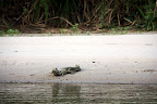 Cayman Alligator at Cocha Otorongo in Reserve Zone (Manu National Park, Peru)