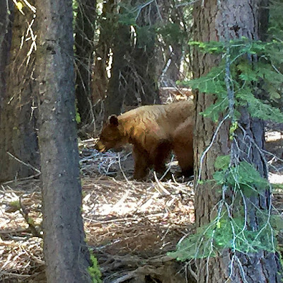 The bear we met on the road to the Paradise Meadows Trailhead.  ©http://backpackthesierra.com