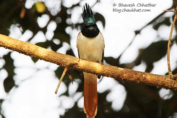 Asian Paradise Flycatcher - front face
