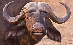 Cape Buffalo, South Africa