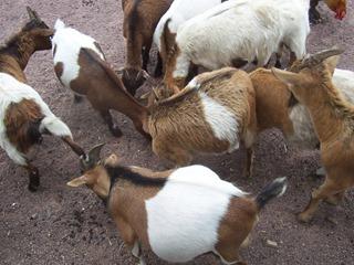 2008.07.01-038 chèvres