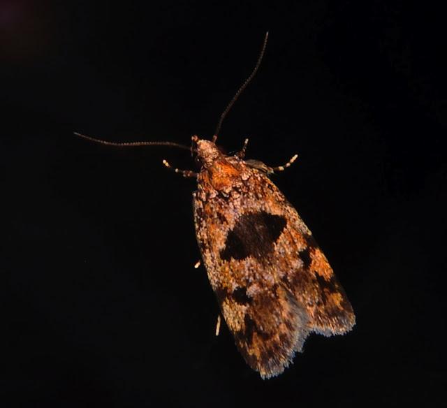 Oecophoridae : Oecophorinae : Barea codrella R. FELDER & ROGENHOFER, 1875 (?). Umina Beach (NSW, Australie), 3 octobre 2011. Photo : Barbara Kedzierski