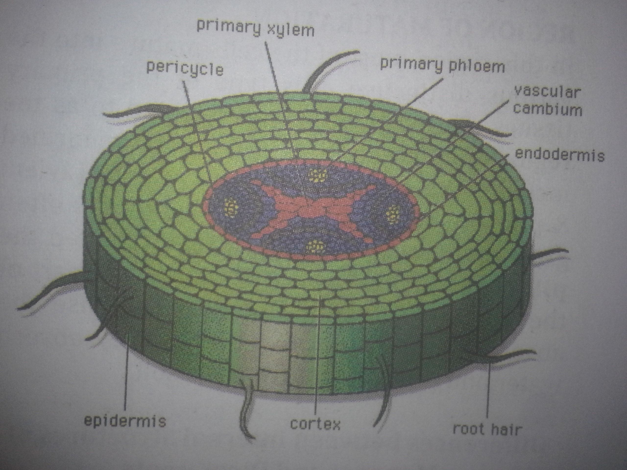 Internal Structures Of Roots Stem And Leaves