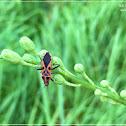 Spilostethus hospes 箭痕腺長蝽