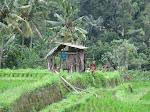 Banyuatis: balade dans les rizières de Bestala