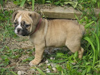 14. Mini Eng bulldog pup sample
