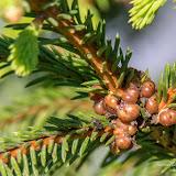 Малая еловая ложнощитовка (Physokermes piceae)