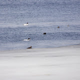 male Common Mergansers (white) & female (gray, with ruddy head and white collar)