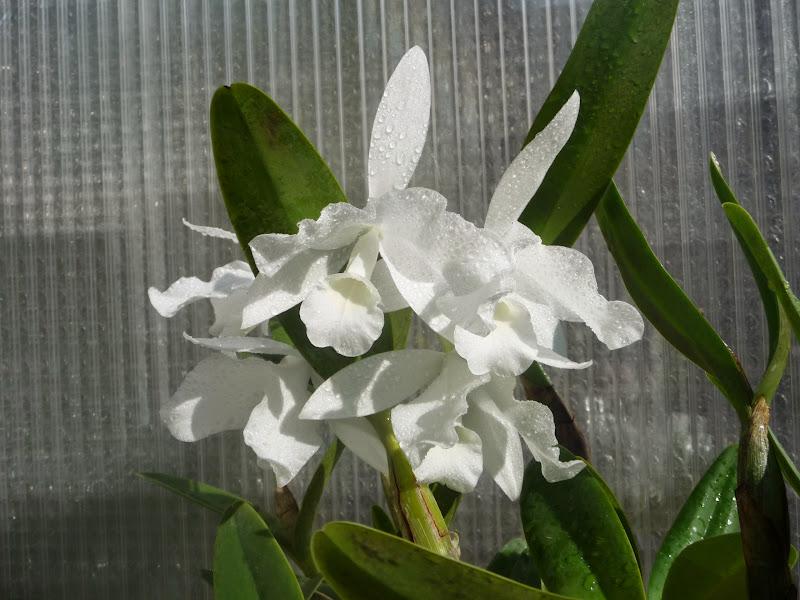 Guarianthe skinnerii f. alba P1190151