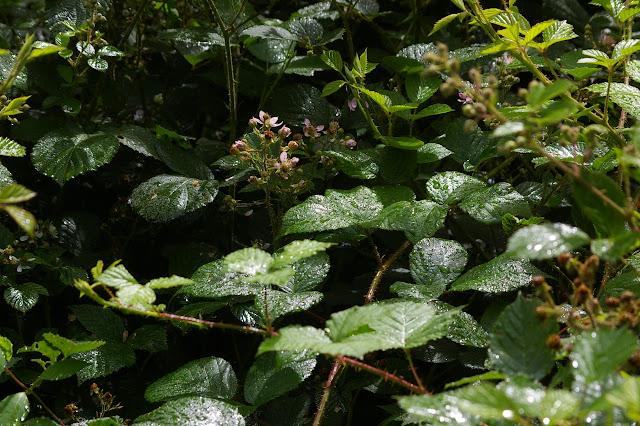 Les ronces après la pluie. Les Hautes-Lisières (Rouvres, 28), 20 juin 2011. Photo : J.-M. Gayman